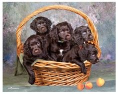 Basket of Boykin puppies!! I want all of them
