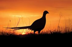 Hunt pheasant birds in the midwest Champions Of The World, Hunting Pictures, Waterfowl Hunting, Sunset Silhouette, Pheasant Hunting, Game Birds, Turkey Hunting, Life Happens, Animal Paintings