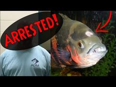 A man was recently arrested for animal cruelty for neglecting his pet oscar fish. The oscar fish was found in a dirty aquarium and was suffering from hole in. Freshwater Aquarium, Aquarium Fish, Animal Cruelty Laws, Oscar Fish, Step Drill, Pet Fish, Cichlids, Aquatic Plants, Tropical Fish