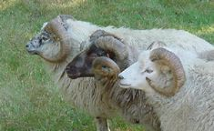 Mapleridge Sheep Farm - spectacular resource for shetland information