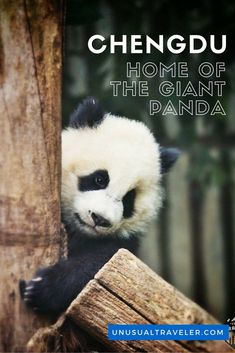 The ultimate guide on how to see the Giant Panda in Chengdu, China.: