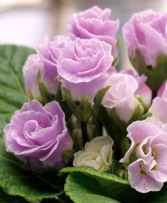 Primula (rose variety) 'Blueberry mousse'
