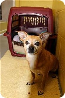 West Vancouver, BC - Chihuahua Mix. Meet Sanchez, a dog for adoption. http://www.adoptapet.com/pet/11666776-west-vancouver-british-columbia-chihuahua-mix