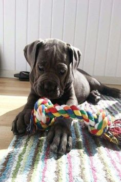 """The breed is commonly referred to as the """"Mastiff"""". Also known as the English Mastiff this giant dog breed gets known for its splendid, good natu Cane Corso Puppies, Cane Corso Dog, Mastiff Breeds, Mastiff Puppies, Giant Dog Breeds, Giant Dogs, Chien Cane Corso, Animals And Pets, Cute Animals"""