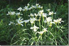 Abundant blooms on Siberian iris 'White Swirl' (photo credit: Jean Potuchek) Tropical Garden, Flower Garden, Bloom, White Flowers, Garden, Foliage, Day Lilies, White Iris, Frangipani