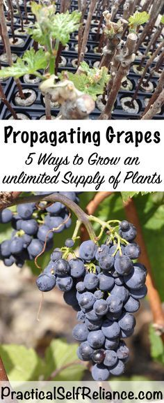 Grapes are one of the easiest perennial food plants to propagate from cuttings. In many cases, just taking a dormant cutting with a few buds attached and sticking it in the ground will suffice to start a whole new plant. There are many ways to propagate grape vines including: Hardwood/Dormant Cuttings, Greenwood cuttings, grafting, layering...Read More