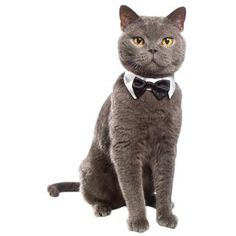 If only my cats looked that charming in a tux. Petco Collar and Bowtie Halloween Costume for Cats