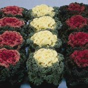 Show product details for Nagoya Mix Ornamental Kale Flower Seeds