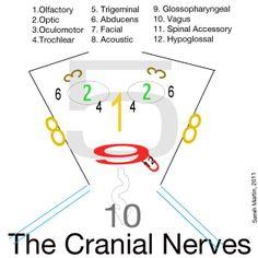 cranial nerves visual