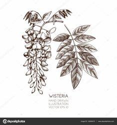 глициния строение ботаническая иллюстрация: 8 тыс изображений найдено в Яндекс.Картинках