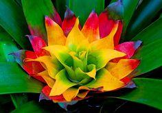 psychedelic bromeliad