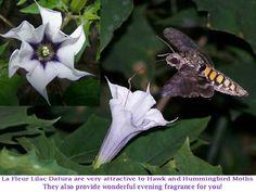 La Fleur Lilac