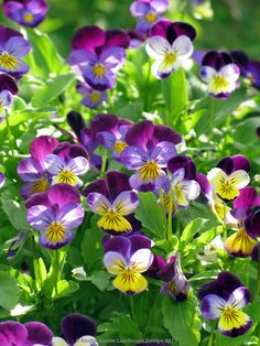Violas, Johnny-Jump-Ups are reliable and also edible.  You can enjoy these sprinkled on a salad or soup or as sugared flowers adorning a cake.