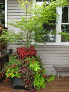 This image shows the Arakawa Japanese maple (Acer palmatum 'Arakawa') underplanted with deep red coleus, chartreuse and bronze sweet potato vine (Ipomoea batatas), and Bonfire begonia. It also pairs well with blue or purple flowers and foliage, such as the fanflower