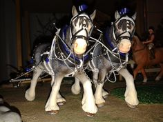 Clidesdale horses