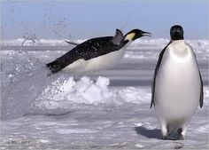 In winter, when most other life is deserting Antarctica, emperor penguins return to the southern continent.