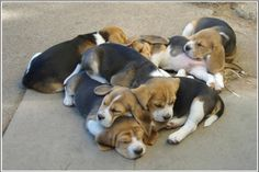Pile of Beagle Puppies