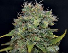 Auto Yumbolt Feminised Cannabis Seeds