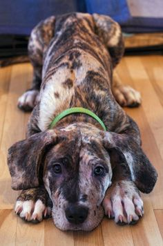 Chewie, the Great Dane/Cane Corso/Neopolitan Mastiff mix. by Scott Thiel Big Dogs, I Love Dogs, Cute Dogs, Dogs And Puppies, Doggies, Mix Breed Dogs, Corgi Puppies, Cane Corso, Beautiful Dogs