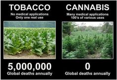 """Tobacco, which I can grow in my garden, versus hemp, which would land me in jail...did you know that soaking tobacco leaves in water can make a toxic solution? This water is used as a natural pesticide and harvesting wet tobacco leaves can cause """"green tobacco sickness"""". 
