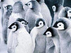 Pingviner  ペンギン (jp) Pinguin (de) penguin (en) 펭귄 새 (kr) manchot (fr) pinguino (it) pingvin (se) pinguim (pt)葡 pingüino (es)西 pinguïn (nl)荷