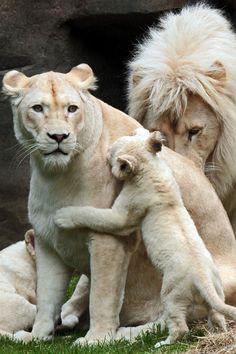 Família de leões brancos (albinos).