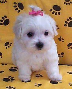 Cute Baby Maltese