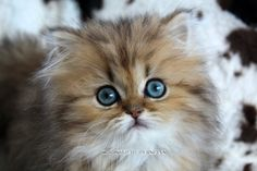 Persian Doll Face Chinchilla kittens For Sale - Christypaw Persians Teacup Persian Kittens, Persian Kittens For Sale, Kitten For Sale, Bible Crafts For Kids, Bible For Kids, Persian Cat Breeders, Feet Scrub, Skull Drawings, Mini Appetizers