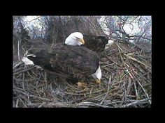 Decorah Eagles Housekeeping on Original Nest 1-26-13