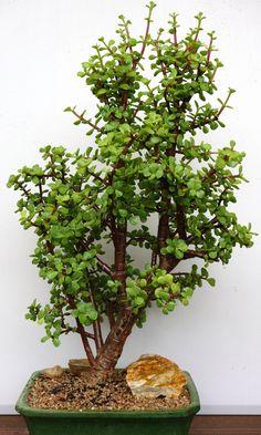 Portulacaria afra bonsai - 60cm Jade Plant Bonsai, Succulent Bonsai, Jade Plants, Bonsai Art, Succulent Gardening, Bonsai Plants, Cacti And Succulents, Planting Succulents, Jade Succulent