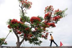 A man strolls past a red flamboyant tree on a street in Hai Phong, Vietnam. Red flamboyant is the symbol of Hai Phong, which is also named 'The city of the red flamboyant'. According to tradition, summer has arrived when flamboyant flowers bloom.