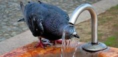 Pigeon shower