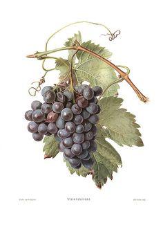 decoupage botanical  grappolo d'uva