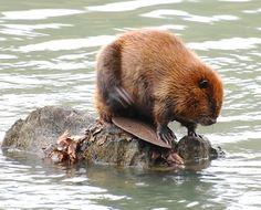 Beaver – The Smallest Lumberjack | Take a Quick Break