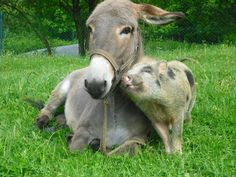 donkey and ping in love