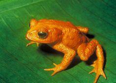 Golden Toad. Extinct-1989.