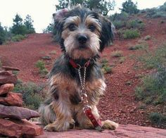 Cooper the Yorkie Mix -- Dog Breed: Dachshund / Yorkshire Terrier