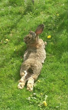 "Bunny Rabbit: ""My best position, when my warm tummy; touches the cool green grass..."""
