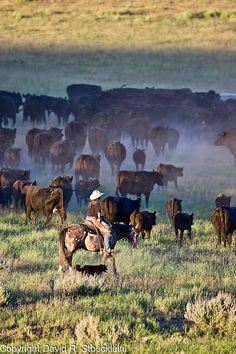 Saw a cattle drive in Texas. Cowboy Ranch, Cowboy And Cowgirl, Cowboy Pictures, Cowboy Images, Longhorn Cattle, Cattle Drive, Gado, Real Cowboys, Ranch Life