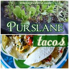 Purslane Tacos! Common purslane is also known as verdolaga, pigweed, little hogweed, red root, pursley, and moss rose. It grows wild in many places and is loaded with vitamins and antioxidants. If you have some in your yard, get started eating it by trying this delicious recipe for tacos.