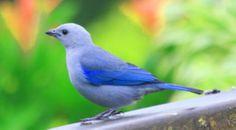 Blue-gray Tanager in la Fortuna, Costa Rica