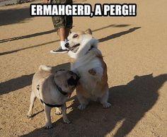 Corgi notices a pug.