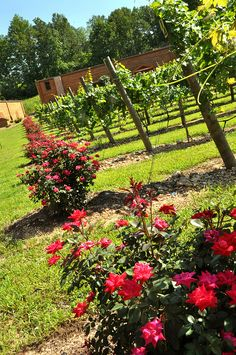 Roses at the end of the rows at Natchez Hills Vineyard in Hampshire, TN