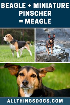 10 Beagle Mix Dogs We Absolutely Love! Female German Shepherd, German Shepherds, Smooth Fox Terriers, Bagel Dog, German Dogs, Beagle Mix, Miniature Pinscher, Puppy Face, Happy Puppy