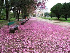Floração dos ipês -  Parque da Redenção RS