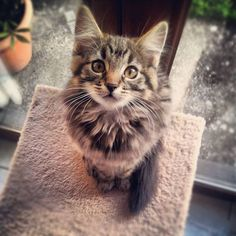 Cute Peach on Yummypets.com #kitten #kitty #meow #cat #chaton #chat #animal #pets #cute Kittens And Puppies, Cute Cats And Kittens, Cool Cats, Kittens Cutest, Pretty Cats, Beautiful Cats, Animals Beautiful, Animals And Pets, Cute Animals