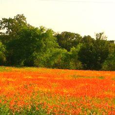 Indian Paintbrush-Texas