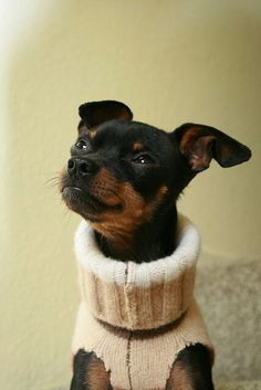 Min Pin all right another Geno--- They sure make em cute . Mini Pinscher, Miniature Pinscher, Doberman Pinscher, Cute Puppies, Cute Dogs, Dogs And Puppies, Doggies, Pincher Dog, Animals And Pets