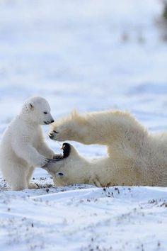 Polar Bears (by Nikolai Zinoviev)