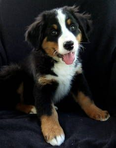 Bernese Mountain Dog.... if you can't tell already they're my favorite dog right now